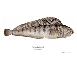 Fish Print: Striped Wolffish Anarichus lupus