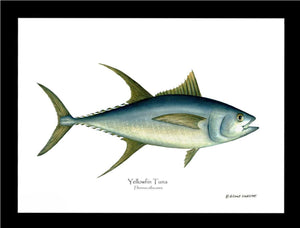 Yellowfin Tuna Thunnus albacares