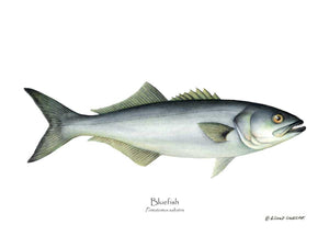 Fish Print: Bluefish Pomatomus saltatrix