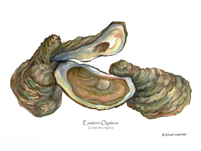 Oysters, Eastern