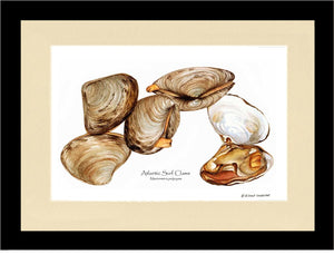 Clams, Atlantic Surf