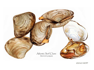 Shellfish Print: Clams, Atlantic Surf