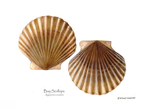 Shellfish Print: Scallops, Bay