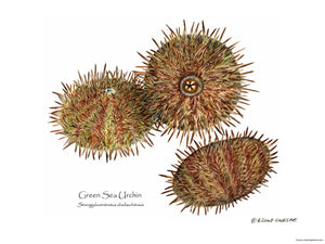 Shellfish Print: Sea Urchin, Green