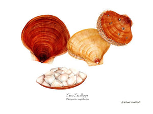 Shellfish Print: Scallops, Sea