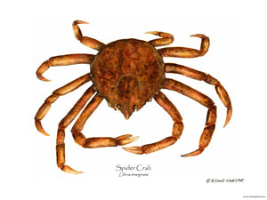 Shellfish Print: Crab, Spider