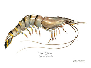 Shellfish Print: Shrimp, Tiger