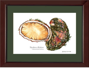 Abalone, Northern
