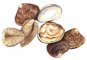 Pacific Littleneck Clams