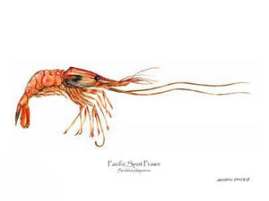 Shellfish Print: Prawn, Pacific Spot