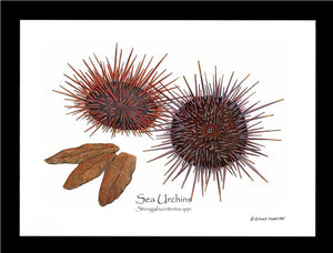 Sea Urchins, Red/Purple