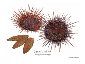 Shellfish Print: Sea Urchins, Red/Purple
