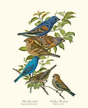 Bird Print: Grosbeaks Buntings