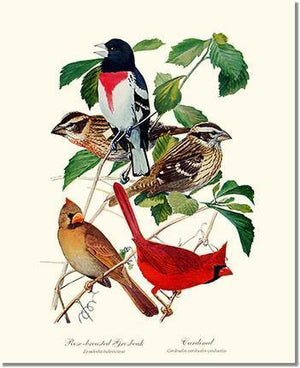 Bird Print: Grosbeaks Cardinals