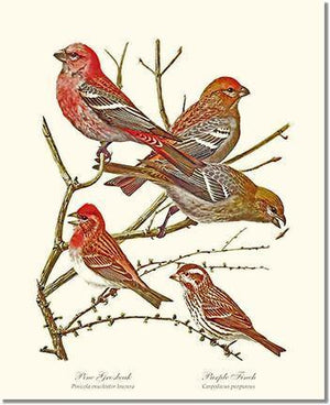 Bird Print: Grosbeaks Finches
