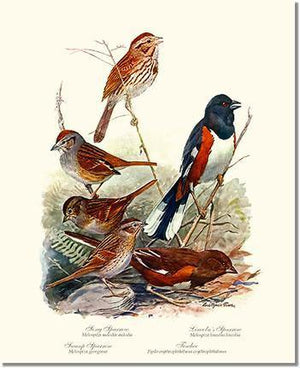 fuertes_sparrows_towhees_bird_illustration