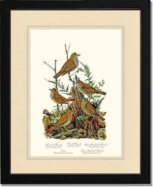 Bird Print: Thrushes