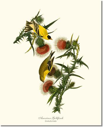 American Goldfinch by James Audubon