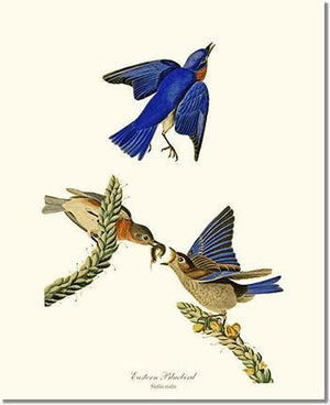 Bird Print: Bluebird, Eastern