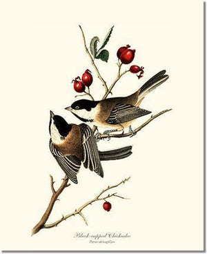Bird Print: Chickadee, Black-capped