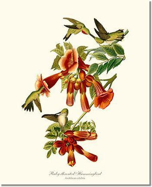 Bird Print: Hummingbird, Ruby-throated