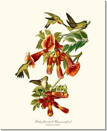Hummingbird, Ruby-throated
