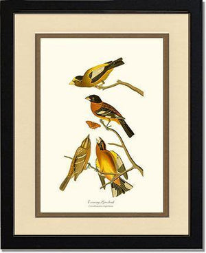Evening Grosbeak and Black-headed Grosbeak