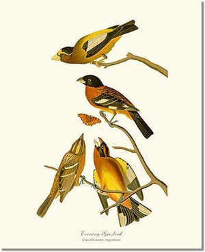 Bird Print: Grosbeaks, Black-headed, Evening