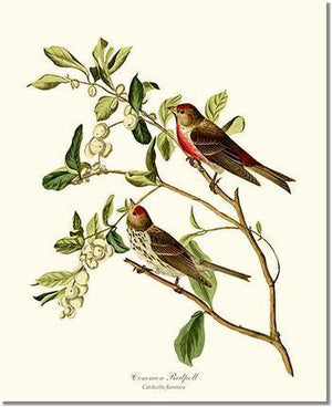 Bird Print: Redpoll, Common