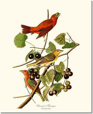 Bird Print: Tanager, Summer