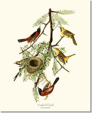 Bird Print: Oriole, Orchard