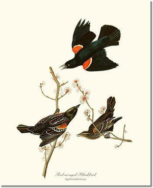 Bird Print: Blackbird, Red-winged