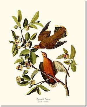Bird Print: Dove, Zenaida
