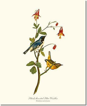 Bird Print: Warbler, Black-throated Blue