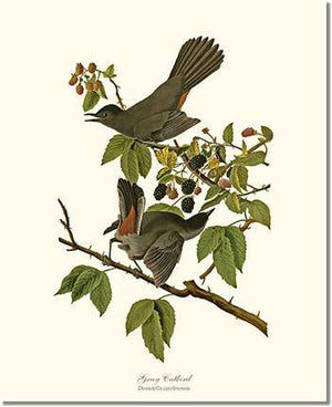 Bird Print: Catbird, Gray