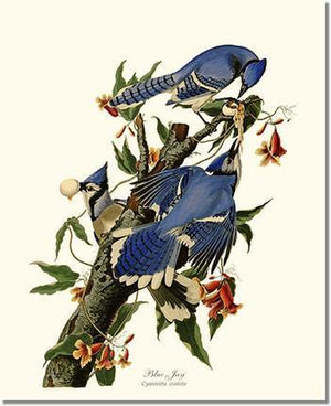 Bird Print: Jay, Blue