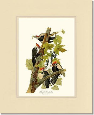 Woodpecker, Pileated