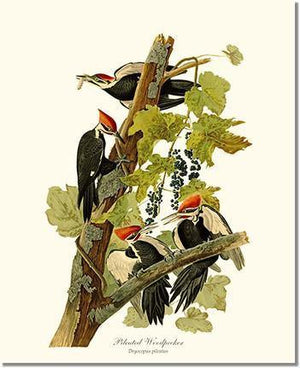 Bird Print: Woodpecker, Pileated