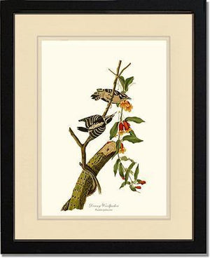 Bird Print: Woodpecker, Downy