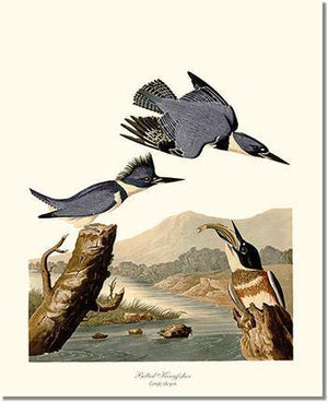 Bird Print: Kingfisher, Belted