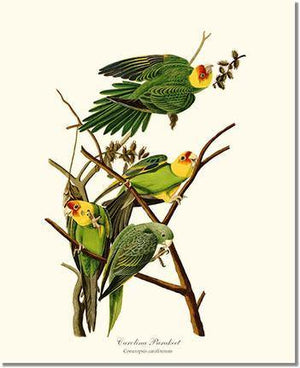 Bird Print: Parakeet, Carolina