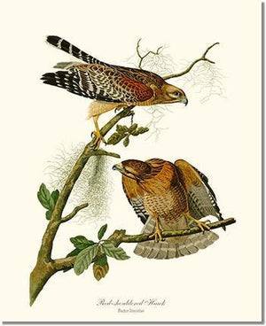Bird Print: Hawk, Red-shouldered