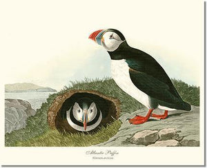 Bird Print: Puffin, Atlantic