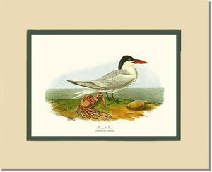 Bird Print: Tern, Royal