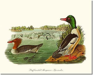 Bird Print: Duck, Common Merganser