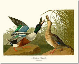 Bird Print: Duck, Northern Shoveler