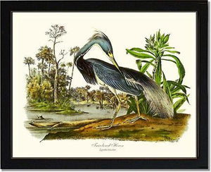 Louisiana Heron
