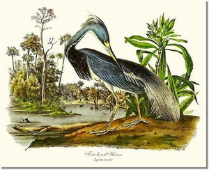 Bird Print: Heron, Tricolored
