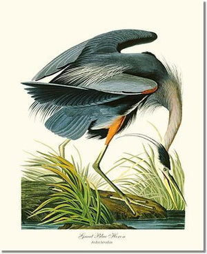 Bird Print: Heron, Great Blue