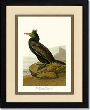 Cormorant, Double-crested